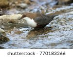 white throated dipper germany  | Shutterstock . vector #770183266