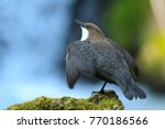 white throated dipper germany  | Shutterstock . vector #770186566