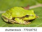hyla arborea | Shutterstock . vector #77018752