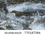 white throated dipper germany  | Shutterstock . vector #770187586