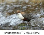 white throated dipper germany  | Shutterstock . vector #770187592