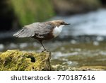 white throated dipper germany  | Shutterstock . vector #770187616
