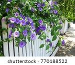 Purple Morning Glory Flowers ...
