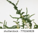 green creeper plant on a white... | Shutterstock . vector #770260828