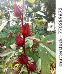 Small photo of Roselle fruit on branch in Roselle garden.