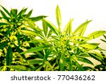 the cannabis plant  marijuana... | Shutterstock . vector #770436262