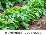 rows of young potato plants on... | Shutterstock . vector #770470018