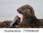 eurasian otter on the norwegian ... | Shutterstock . vector #770508328