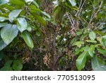 baccaurea ramiflora on the tree ... | Shutterstock . vector #770513095