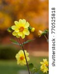 Yellow Blooming Dahlias With...