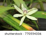 """clamshell orchid"" flower  or... 