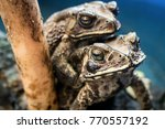 toads in mating position at... | Shutterstock . vector #770557192