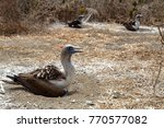 blue footed boobies  sula... | Shutterstock . vector #770577082