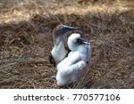 blue footed boobies  sula... | Shutterstock . vector #770577106