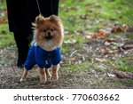 the wear  aggressive spitz dog... | Shutterstock . vector #770603662