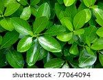 Close Up Shot Of Green Bush...