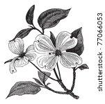 Flowering Dogwood Or Cornus...