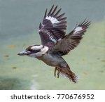 The Kookaburra Bird From...