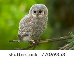 Wild Baby Tawny Owl Sitting On...