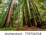 Giant Redwood Trees In Tall...
