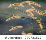 bulrushes or grass stems... | Shutterstock . vector #770731822