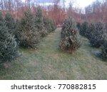 Frasier Fir Christmas Trees Fo...