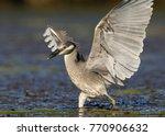 yellow crowned night heron ... | Shutterstock . vector #770906632