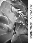 black and white leaves | Shutterstock . vector #770965642