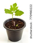 Small photo of Fig tree in black plastic pot isolated on white background