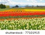 Field Of Tulips At Skagit ...