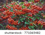 Bright Red Mass Of Berries On ...