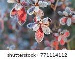 frozen azalea with red leaves ... | Shutterstock . vector #771114112