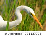 a great egret fishing in the... | Shutterstock . vector #771137776