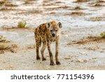 pottet hyena  crocuta crocuta ... | Shutterstock . vector #771154396
