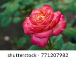 Stock photo new york city garden red rose flower with water drops on green grass background nyc city park 771207982