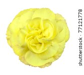 Little Yellow Rose Isolated on White Background. Tiny Yellow Rose Flower - stock photo