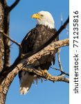 bald eagle sitting in a tree in ...   Shutterstock . vector #771235816