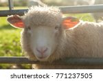 sheep on farm looking through... | Shutterstock . vector #771237505