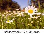 Romantic wild field of daisies...