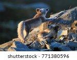 arctic fox  white fox   polar... | Shutterstock . vector #771380596