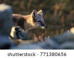 arctic fox  white fox   polar... | Shutterstock . vector #771380656