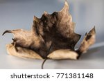 autumn leaf macro. dry leaf.... | Shutterstock . vector #771381148