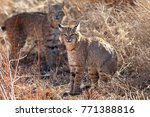 bobcat lynx rufus bosque del...   Shutterstock . vector #771388816