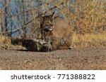 bobcat lynx rufus bosque del...   Shutterstock . vector #771388822