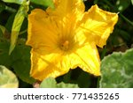 pumpkin flower in vegetable... | Shutterstock . vector #771435265