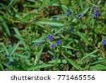 Small photo of Hydrolea zeylanica Biennial plant to shoot the stem smooth. Th e tip and the base of the leaf. Purple flowers A bouquet of flowers. The outer coat is covered with large oval seeds.