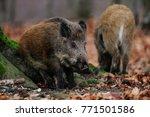 wild boar in the forest  autumn ... | Shutterstock . vector #771501586