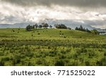 paddock with cows and sheep in... | Shutterstock . vector #771525022