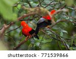 andean cock of the rocks ... | Shutterstock . vector #771539866