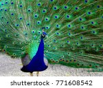 Peacock During Its Mating Season